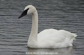 TrumpeterSwan.AnimalImages.net