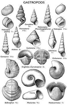 FossilGastropods